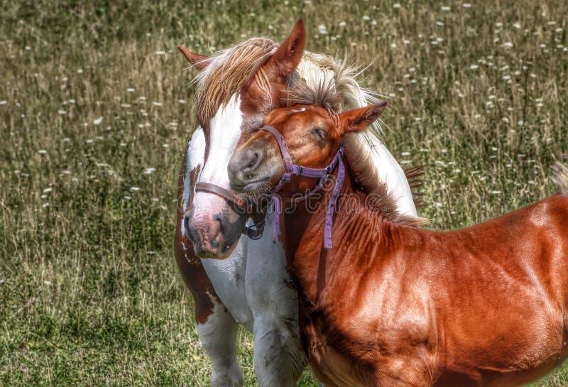Μια φοράδα και foal της που κάνουν ένα αγκάλιασμα στοκ εικόνες με δικαίωμα ελεύθερης χρήσης