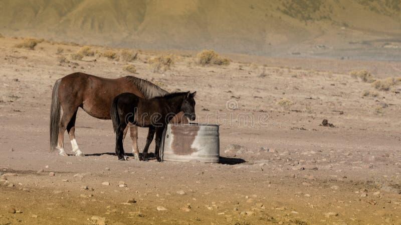 Μια φοράδα μάστανγκ και το πουλάρι της από μια τρύπα νερού στοκ φωτογραφίες