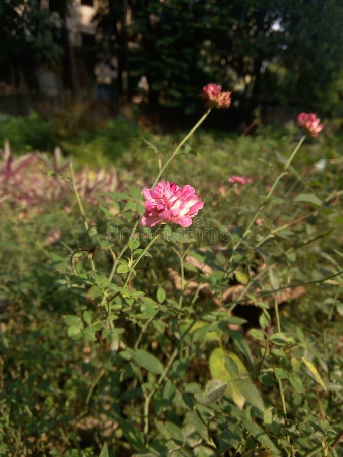 Μια φυτεία με τριανταφυλλιές στοκ εικόνα με δικαίωμα ελεύθερης χρήσης