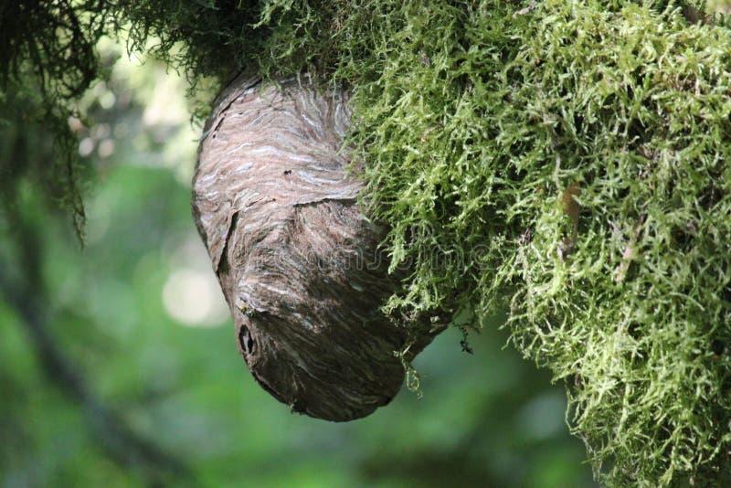 Μια φωλιά hornets στοκ φωτογραφία με δικαίωμα ελεύθερης χρήσης