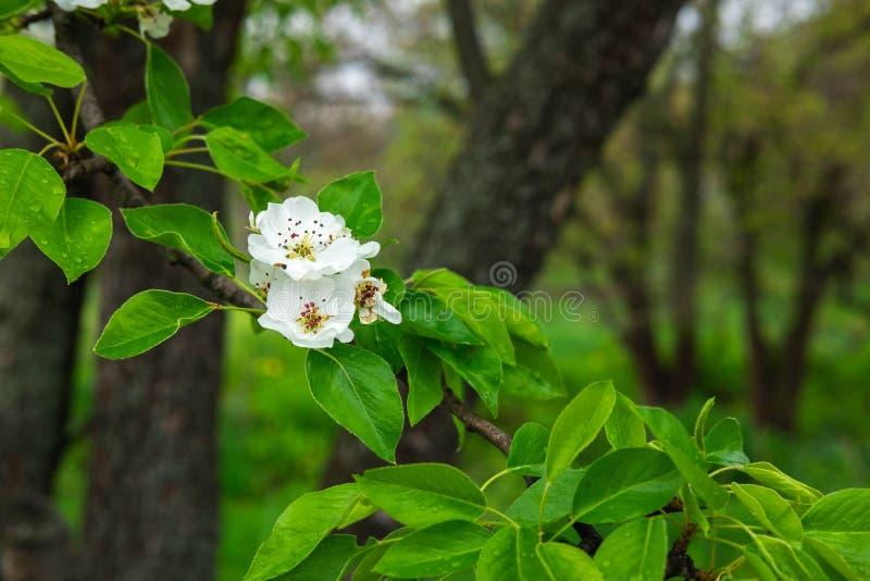 Μια φωτογραφία ενός κλάδου ενός ανθίζοντας δέντρου αχλαδιών Μακρο άσπρα λουλούδια άνοιξη πυροβολισμού του αχλαδιού στοκ εικόνες με δικαίωμα ελεύθερης χρήσης