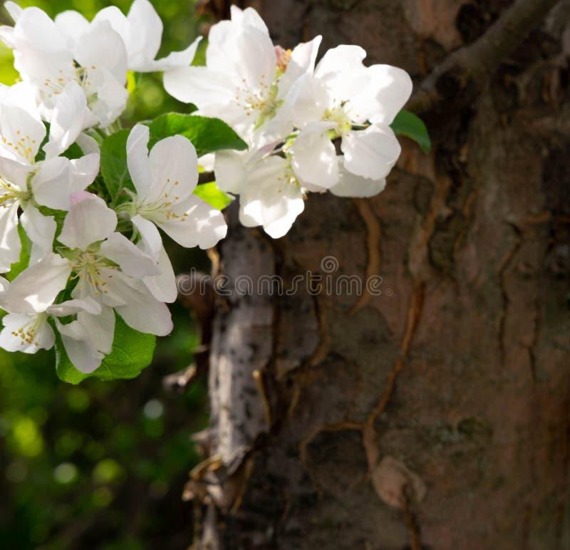 Μια φωτογραφία ενός κλάδου ενός ανθίζοντας δέντρου μηλιάς Άσπρα λουλούδια άνοιξη της Apple στοκ εικόνες