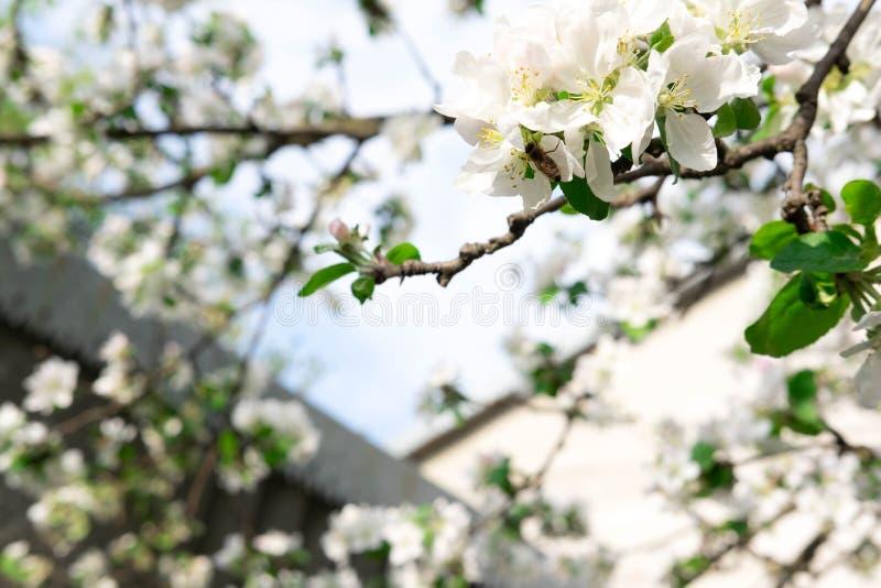 Μια φωτογραφία ενός κλάδου ενός ανθίζοντας δέντρου μηλιάς Άσπρα λουλούδια άνοιξη της Apple στοκ φωτογραφία