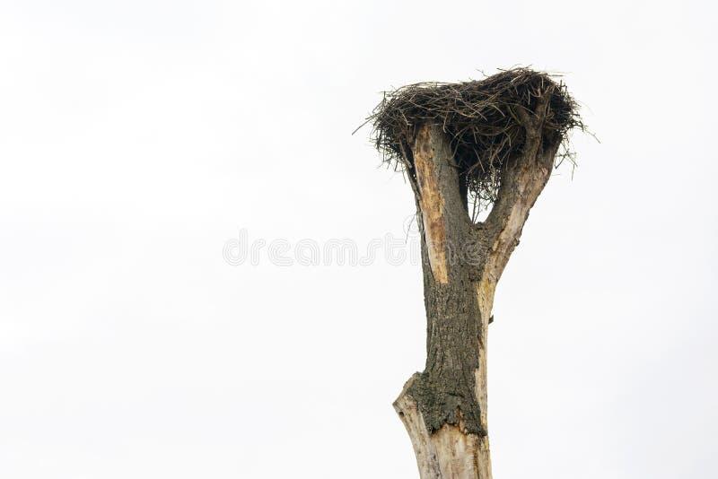 Μια φωλιά πελαργών ` s, που εκτρέφεται σε ένα παλαιό δέντρο στοκ εικόνες με δικαίωμα ελεύθερης χρήσης