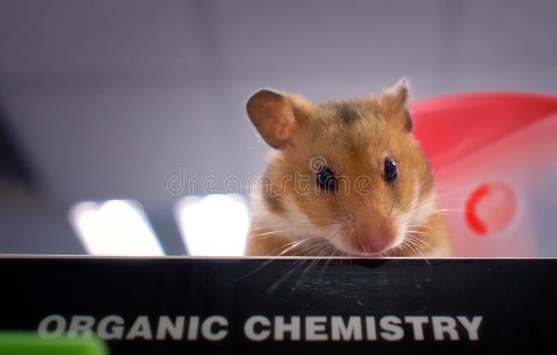 Μια χάμστερ στο βιβλίο chemistery στοκ εικόνες