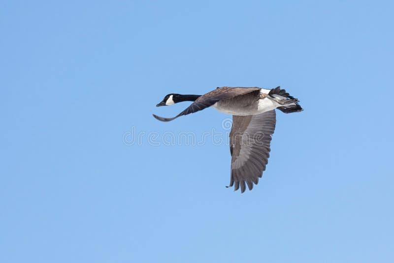 Μια χήνα πετά σε έναν μπλε ουρανό στοκ φωτογραφία με δικαίωμα ελεύθερης χρήσης