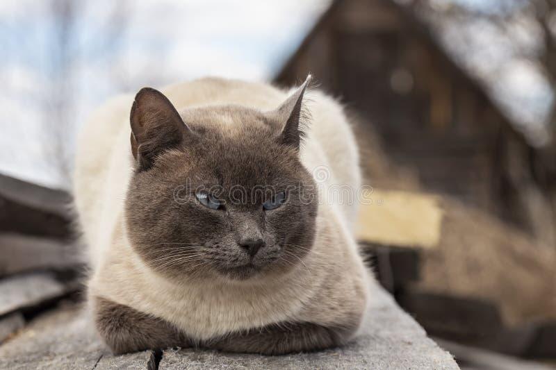 Μια χαριτωμένη, λυπημένη γάτα με τα όμορφα μπλε μάτια στηρίζεται στους παλαιούς ξύλινους πίνακες και κοιτάζει σκεπτικά στην πλευρ στοκ φωτογραφία