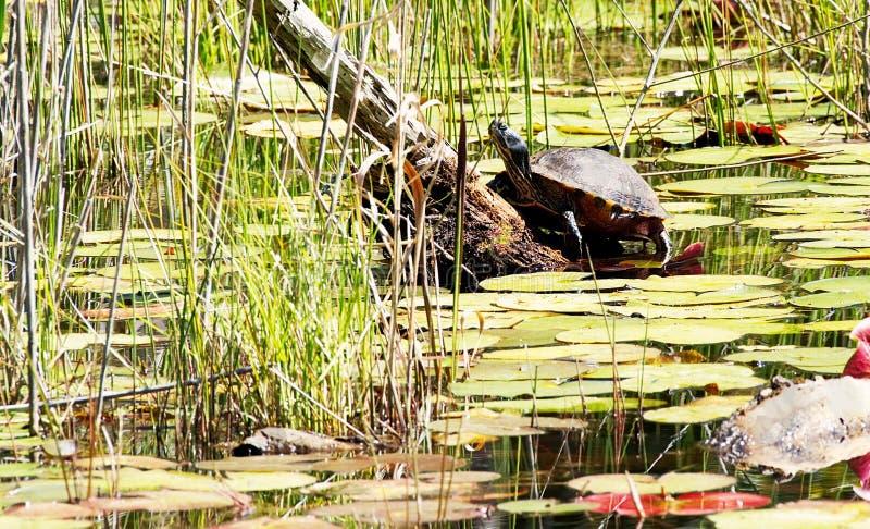 Μια χελώνα που λιάζει σε μια σύνδεση έναν κρίνο κάλυψε τη λίμνη στοκ εικόνες με δικαίωμα ελεύθερης χρήσης