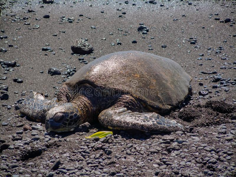 Μια χελώνα πράσινης θάλασσας στήριξης στη μαύρη παραλία του u Punalu ` άμμου στο μεγάλο νησί της Χαβάης στοκ εικόνες