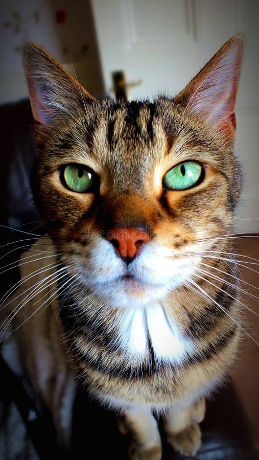 Μια όμορφη αρσενική γάτα βραχιολιών στοκ φωτογραφία