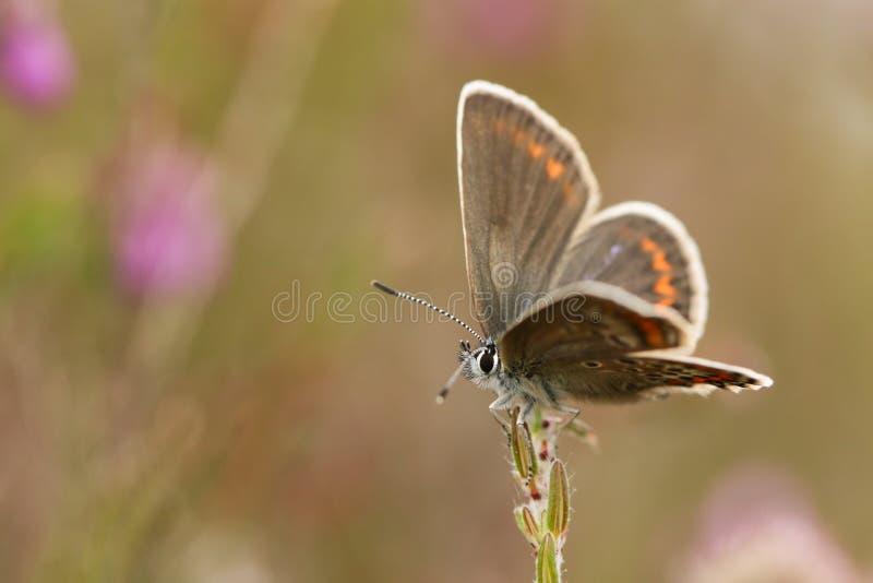 Μια όμορφη ασημένιος-στερεωμένη θηλυκό μπλε πεταλούδα που σκαρφαλώνει στην ερείκη στοκ εικόνα με δικαίωμα ελεύθερης χρήσης
