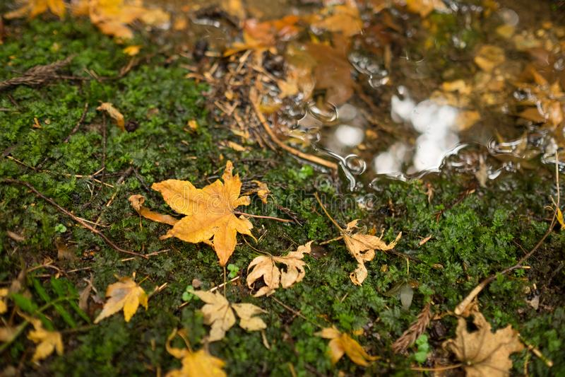 Μια όμορφη αφηρημένη φωτογραφία του ξηρού κιτρινωπού φύλλου σφενδάμου που πέφτει επάνω στο έδαφος κοντά σε ένα μικρό ρεύμα στοκ φωτογραφία με δικαίωμα ελεύθερης χρήσης