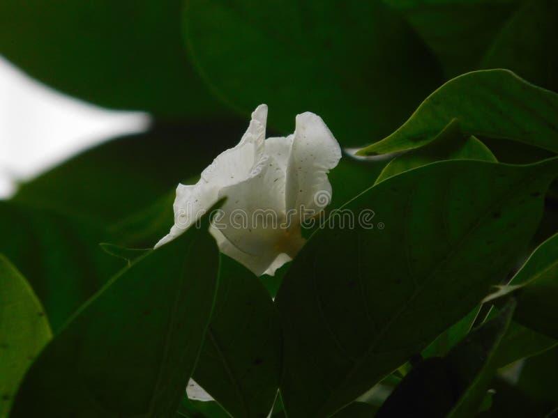 Μια όμορφη εικόνα ενός μικρού άσπρου λουλουδιού στοκ εικόνες με δικαίωμα ελεύθερης χρήσης