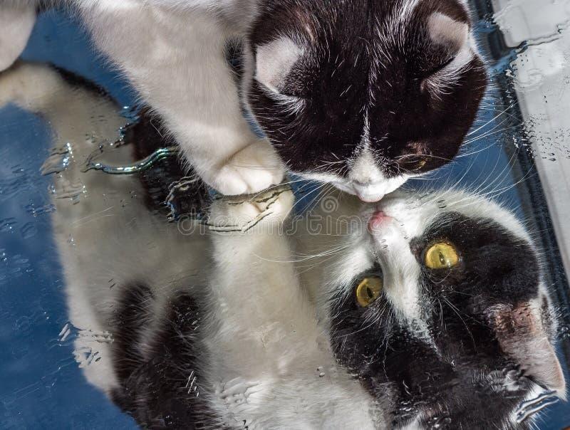 Μια όμορφη ενήλικη νέα γραπτή γάτα με τα μεγάλα κίτρινα μάτια και τη ρόδινη υγρή μύτη βελούδου κάθεται σε έναν υγρό καθρέφτη στοκ φωτογραφία