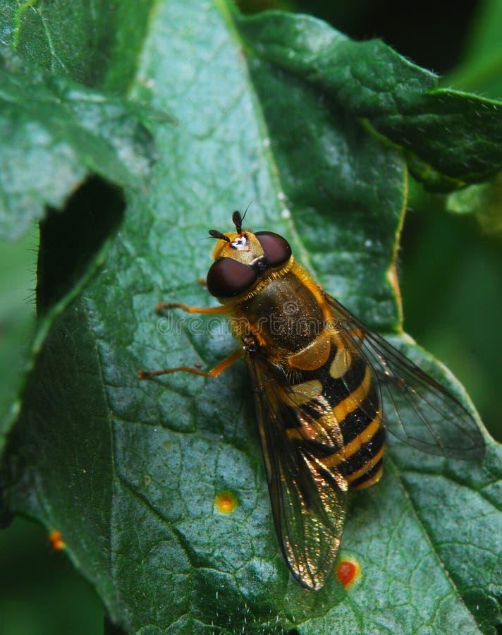 Μια όμορφη μύγα μοιάζει με μια σφήκα στοκ εικόνα