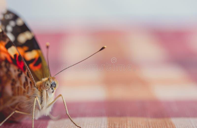 Μια όμορφη πεταλούδα είναι ένα έντομο από τη διαταγή λεπιδόπτερων μακρο τρόπος στοκ εικόνα με δικαίωμα ελεύθερης χρήσης