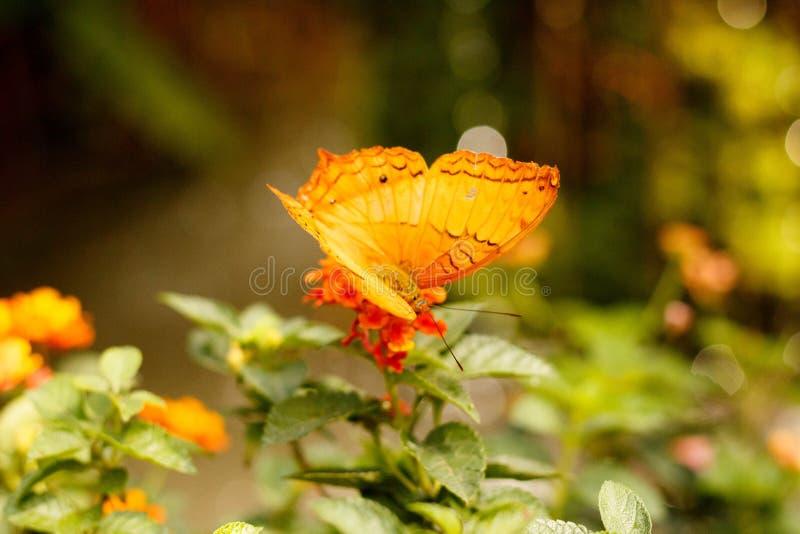 Μια όμορφη πεταλούδα Fritillary Κόλπων που επιθεωρεί ένα κίτρινο και κόκκινο λουλούδι στοκ φωτογραφία με δικαίωμα ελεύθερης χρήσης