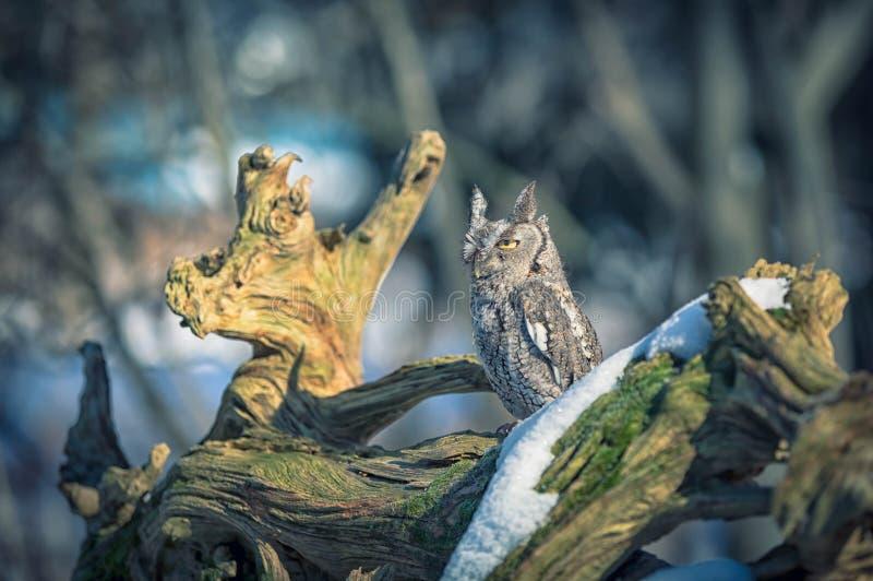 Μια όμορφη συνεδρίαση κουκουβαγιών διαπεραστικού ήχου σε ένα δέντρο στοκ εικόνες