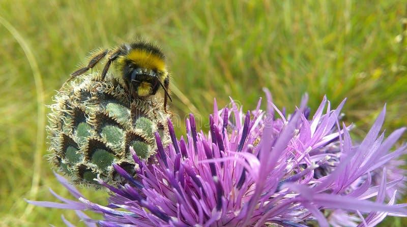 Μια bumblebee συνεδρίαση Knapweed στο λουλούδι στοκ φωτογραφίες με δικαίωμα ελεύθερης χρήσης