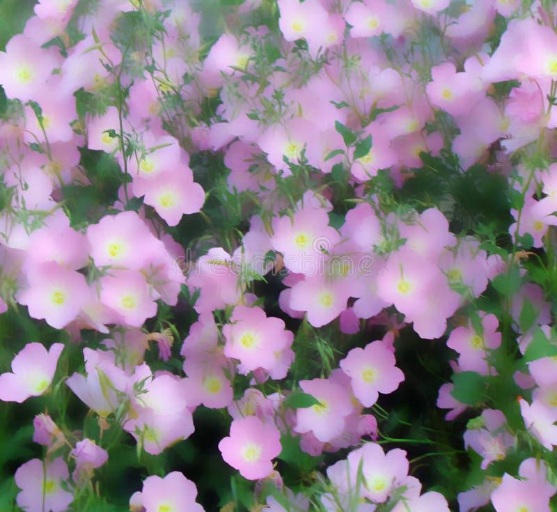 Μια lushly άνθιση του πορφυρού agrostemma στοκ εικόνα με δικαίωμα ελεύθερης χρήσης
