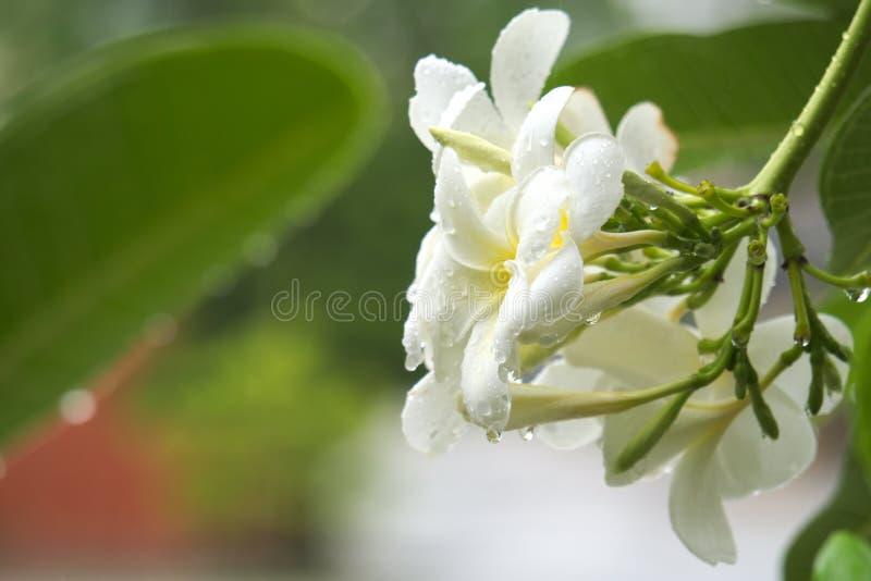 Μια stunningly όμορφη άσπρη και κίτρινη ταϊλανδική συστάδα λουλουδιών, που φωτογραφίζεται κατά τη διάρκεια μιας σκληρής θύελλας β στοκ εικόνες με δικαίωμα ελεύθερης χρήσης