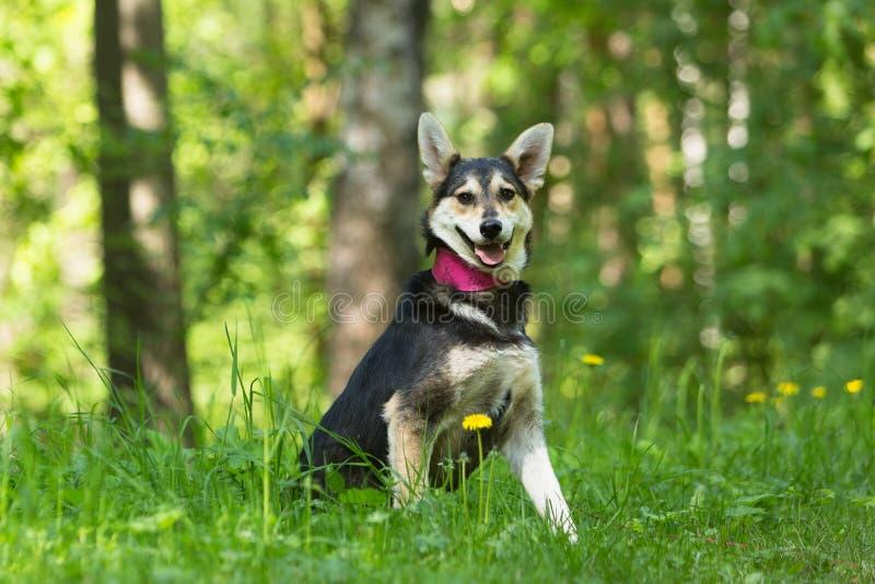 Μιγάς μαύρη και κόκκινη συνεδρίαση σκυλιών στην πράσινη χλόη στοκ εικόνα με δικαίωμα ελεύθερης χρήσης