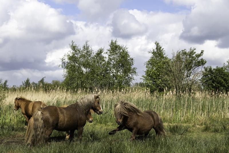 Μικρά άγρια άλογα πάλης στοκ φωτογραφίες