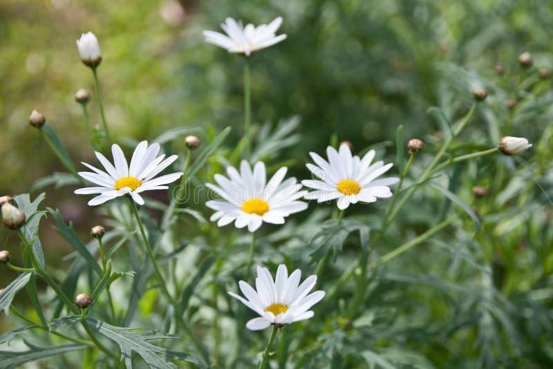 Μικρά άσπρα λουλούδια στη φύση στοκ εικόνα