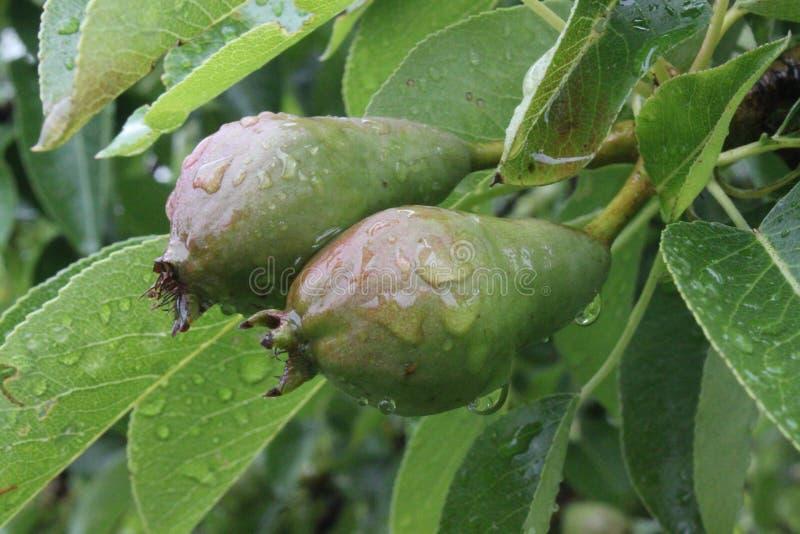 Μικρά αχλάδια μετά από τη βροχή στοκ φωτογραφία με δικαίωμα ελεύθερης χρήσης