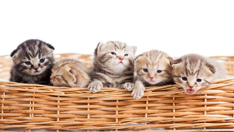 Μικρά γατάκια γατών στο καλάθι στοκ φωτογραφία με δικαίωμα ελεύθερης χρήσης