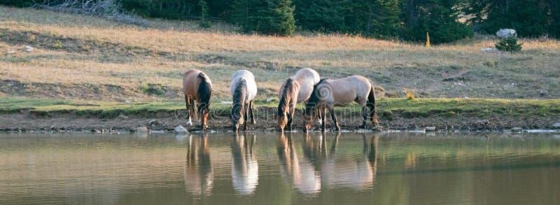 Μικρά ζώνη/κοπάδι των άγριων αλόγων που πίνουν στο waterhole στην άγρια σειρά αλόγων βουνών Pryor στη Μοντάνα στοκ φωτογραφία με δικαίωμα ελεύθερης χρήσης