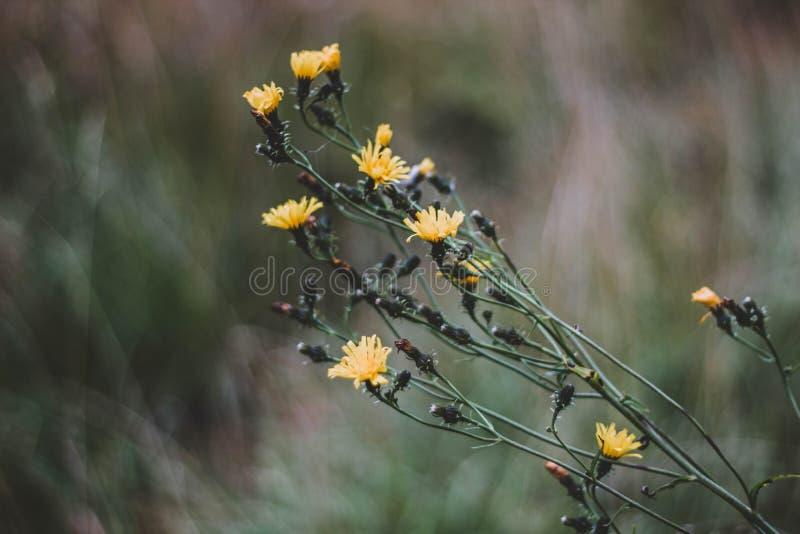 Μικρά κίτρινα λουλούδια θάμνων το φθινόπωρο o Όμορφα κίτρινα λουλούδια σε ένα θολωμένο υπόβαθρο στοκ εικόνα