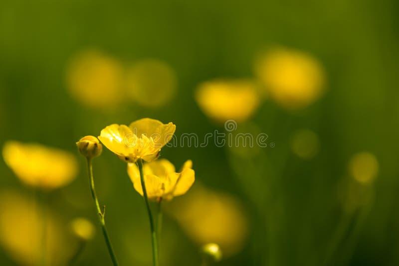 Μικρά κίτρινα λουλούδια στον τομέα Κινηματογράφηση σε πρώτο πλάνο των κίτρινων wildflowers σε ένα θολωμένο πράσινο υπόβαθρο στοκ εικόνες