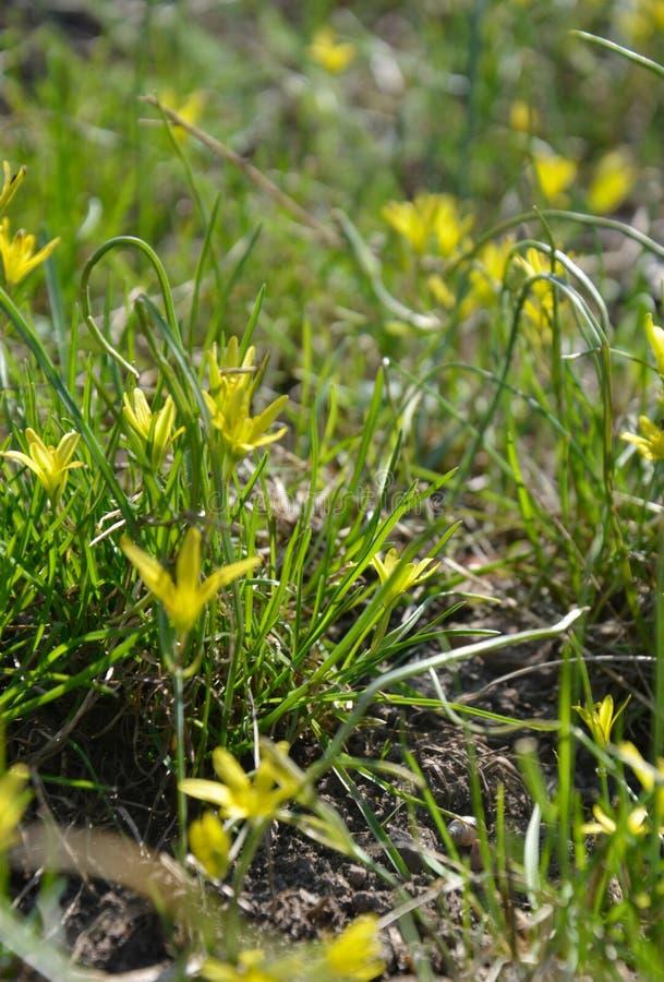 Μικρά κίτρινα λουλούδια των ελάχιστων Gagea στοκ φωτογραφία με δικαίωμα ελεύθερης χρήσης