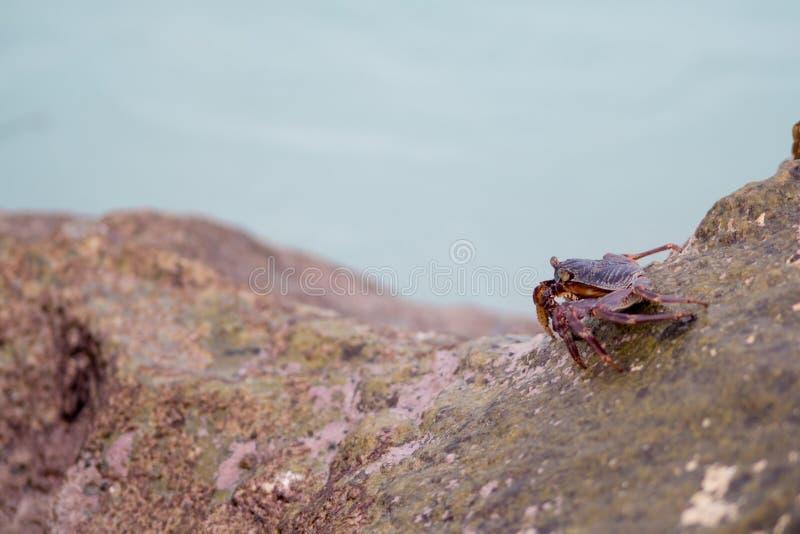 Μικρά καβούρια που σέρνονται στους βράχους στην ακτή στοκ εικόνες
