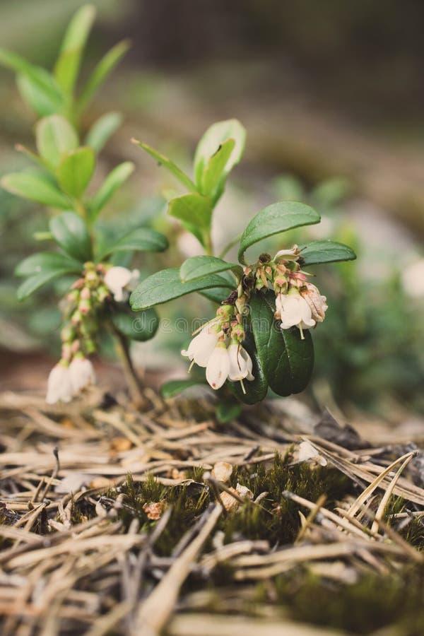 Μικρά και ρόδινα cowberries την άνοιξη στοκ φωτογραφία με δικαίωμα ελεύθερης χρήσης