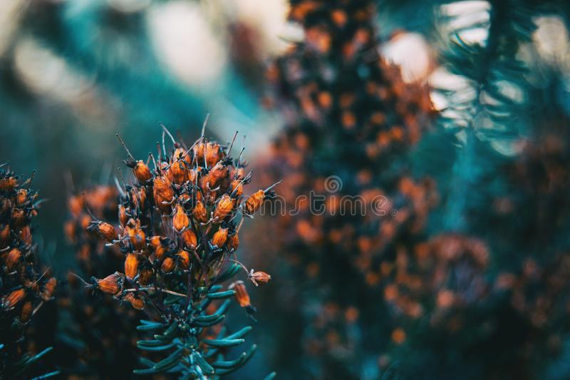 Μικρά καφετιά και ξηρά λουλούδια του multiflora της Erica στοκ φωτογραφίες
