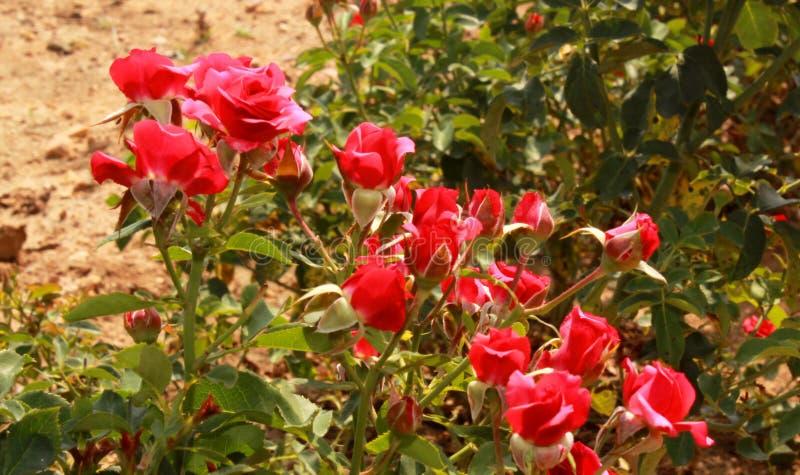 Μικρά κόκκινα τριαντάφυλλα στις εγκαταστάσεις στοκ εικόνα
