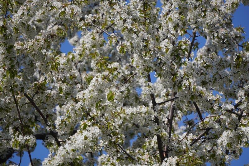 Μικρά λευκά ανοιξιάτικα μικρά άνθη Apple ή ροδακινιές στα κλαδιά Τα πρώτα λουλούδια, η αφύπνιση της φύσης την άνοιξη στοκ φωτογραφία με δικαίωμα ελεύθερης χρήσης