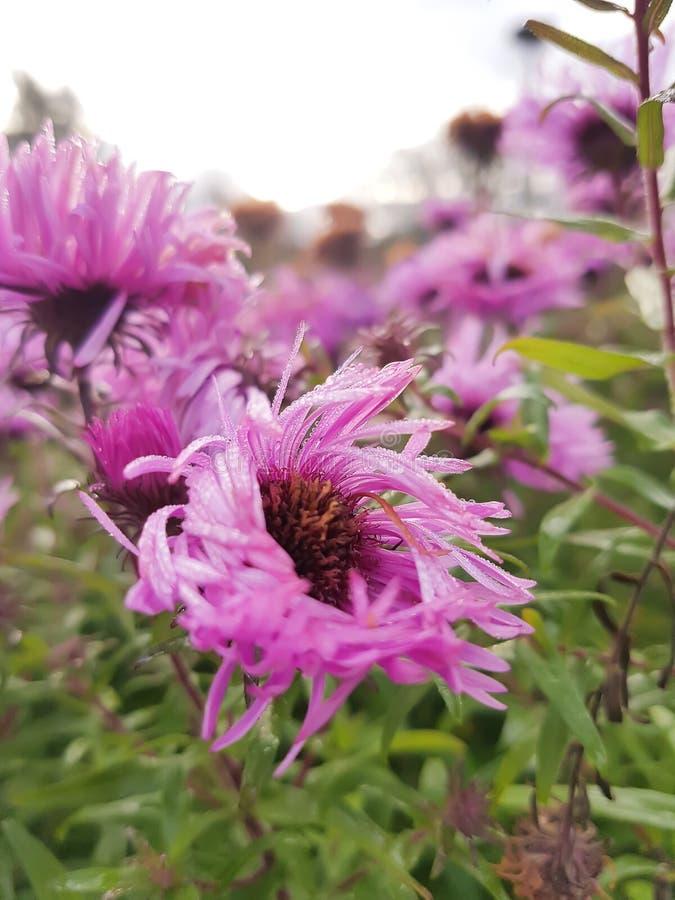 Μικρά λουλούδια φθινοπώρου asters στοκ εικόνες