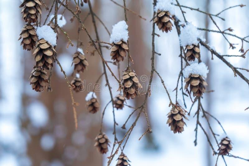 Μικρά μέρη δέντρων κώνων πεύκων σε έναν κλάδο που κρεμά από ένα δέντρο, που καλύπτεται με το χιόνι χιονώδη δασικό σε έναν καφετή  στοκ εικόνα