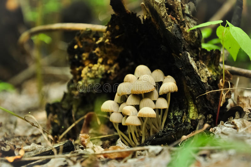 Μικρά μανιτάρια κάτω από το σάπιο κολόβωμα δέντρων στο δάσος στοκ φωτογραφία