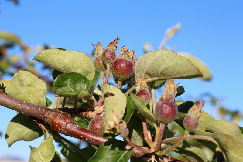 Μικρά νέα μήλα σε έναν κλάδο στοκ φωτογραφία