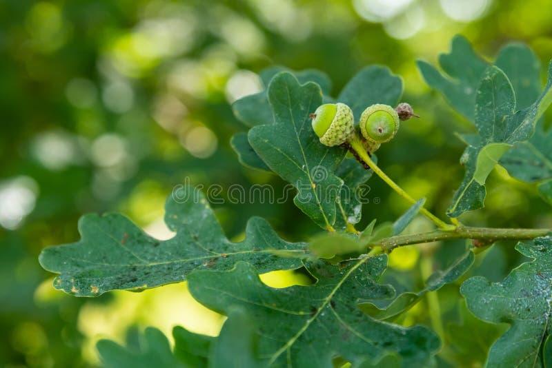 Μικρά νέα πράσινα βελανίδια του αγγλικού δρύινου δέντρου στοκ εικόνα με δικαίωμα ελεύθερης χρήσης