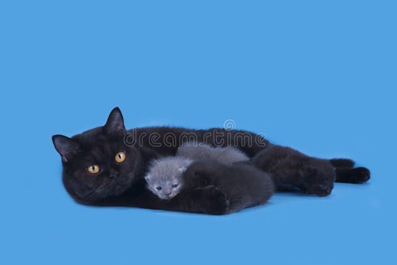 Μικρά νεογέννητα σκωτσέζικα γατάκια που απομονώνονται σε ένα μπλε υπόβαθρο στοκ εικόνες