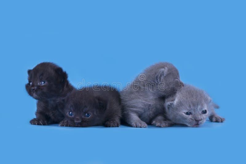 Μικρά νεογέννητα σκωτσέζικα γατάκια που απομονώνονται σε ένα μπλε υπόβαθρο στοκ φωτογραφίες