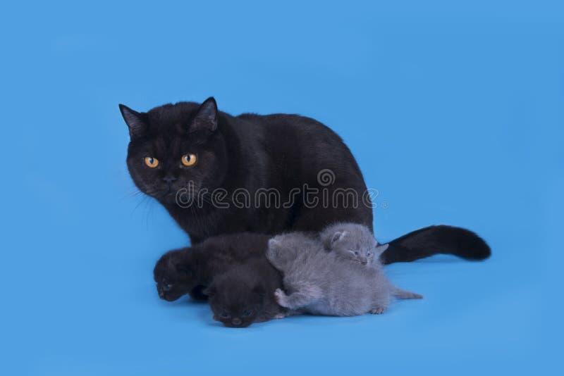 Μικρά νεογέννητα σκωτσέζικα γατάκια που απομονώνονται σε ένα μπλε υπόβαθρο στοκ φωτογραφία με δικαίωμα ελεύθερης χρήσης