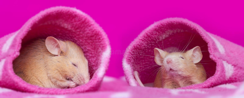 μικρά ποντίκια που κοιμούνται τα μανίκια στοκ εικόνες