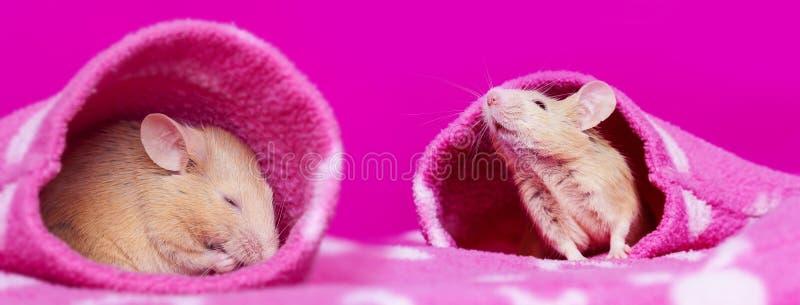 Μικρά ποντίκια που κοιμούνται τα μανίκια στοκ εικόνες με δικαίωμα ελεύθερης χρήσης