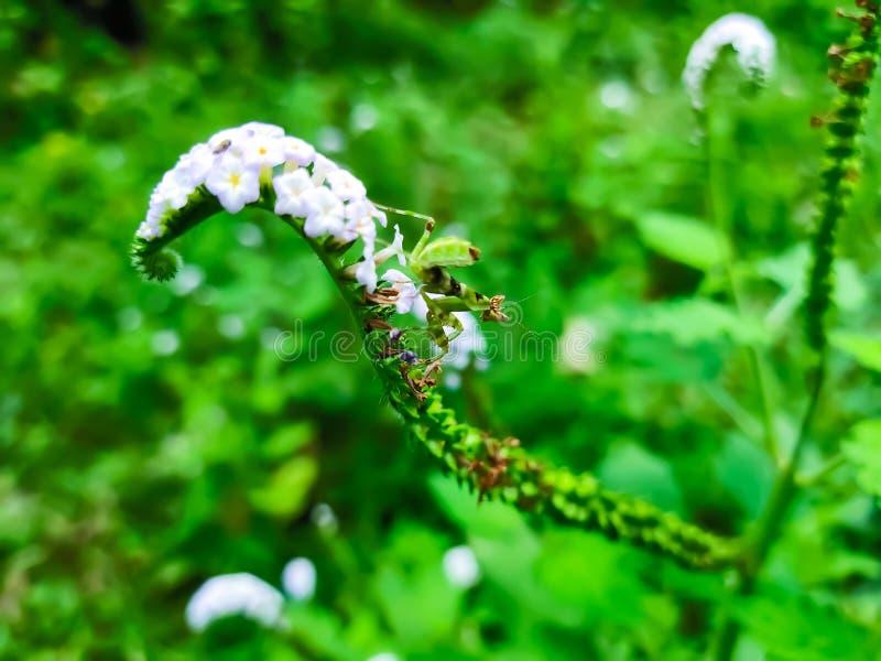 Μικρά πράσινα grasshoppers άσπρα λουλούδια δέντρων νησιών εκείνη η άνθιση στοκ εικόνες